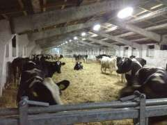 First cows in Moldova